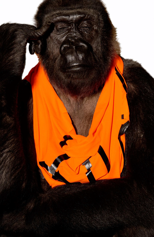 Gorilla Weibchen »Boma« hat sich für ein Tape-Shirt von Grit & Jerszy Seymour entschieden. Foto: Heidi & Hans-Jürgen Koch