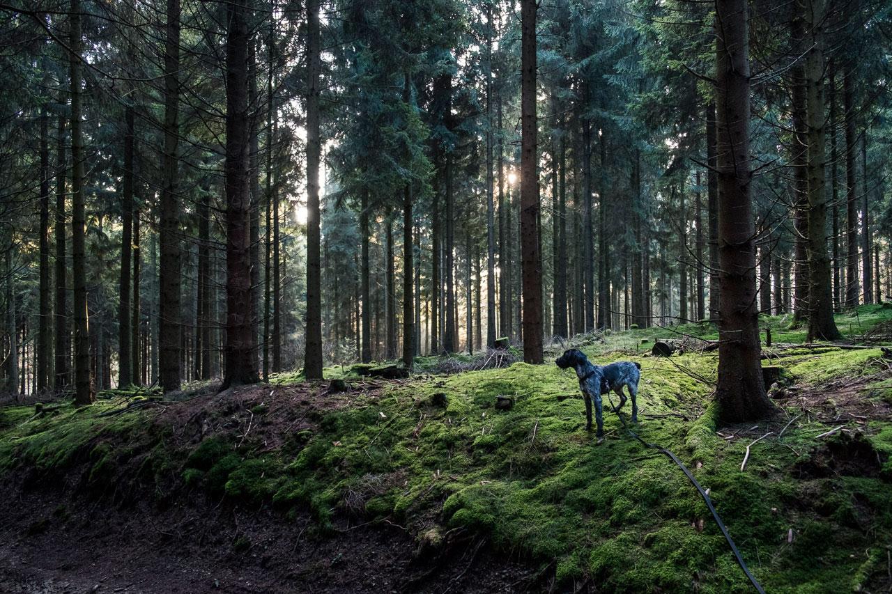 Alter Wagenpfad bei Kempershöhe, 151,8 km: Bella steht im Moos bedeckten Wald.