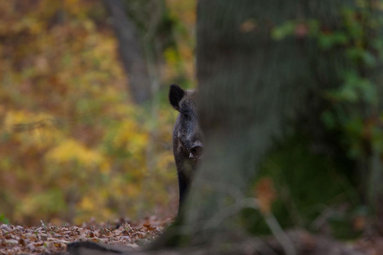 Neugieriges Schwarzwild im Saupark Springe.